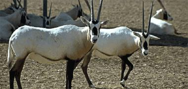 ���� ����� ����� ���� ����� oryx.png